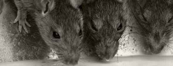 Fallout en vrai : les rats géants